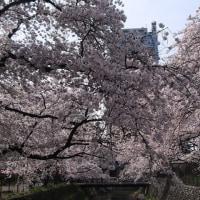 さくら・・・前橋公園