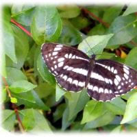 梅雨の晴れ間に…(^^♪星状紋がある三本の筋(白線)がある蝶「ホシミスジ(星三筋)」