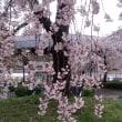 2017 桜だより JR二条駅