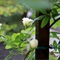 庭の白い花集
