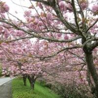 嬉野台生涯教育センターの八重桜