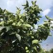 柿の摘果とネギの植え替え