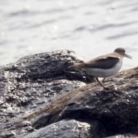 12/08探鳥記録写真(狩尾岬の鳥たち:ウミアイサ♂、♀他)