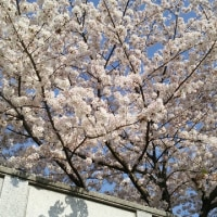 The cherry blossoms in the park will be in full bloom in a month.