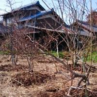 西のブルーベリー肥料やり終える