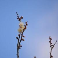 うめが咲き始めました
