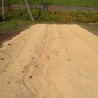 アスパラ畑  長ネギ収穫