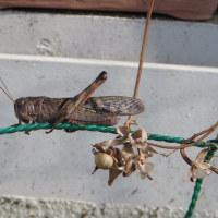 10月25日 トノサマバッタ~稲から飛び出す
