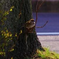 びわ湖畔のスズメ