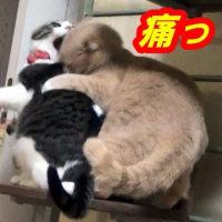 ♂猫だいずがムラムラ発情に♀猫こむぎが毅然と反撃したぁ~!