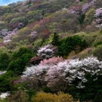 関東の吉野山シリ-ズ 最終
