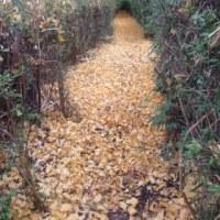 秋っぽい風景とイチョウの葉のヒミツ