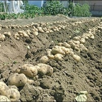6月の畑 (ジャガイモの収穫)