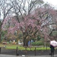 六義園(枝垂桜)こさのぼ散歩