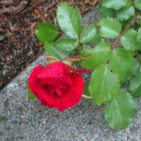 薔薇 心待ち