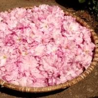 八重桜の花摘み