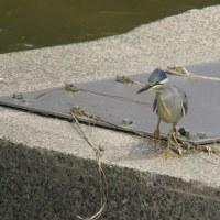 昼休みの鳥見・ササゴイ@河川敷