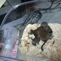 その後のネズミ