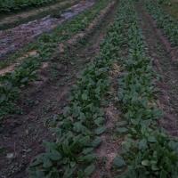 玉ねぎの苗の後などを耕耘畝たてしました。