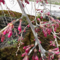 フクロウの館の枝垂桜は、まだ蕾