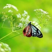 薊咲く里 ウスバシロチョウ、アサギマダラと再会