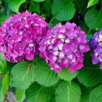 紫陽花と擬宝珠と山門と…