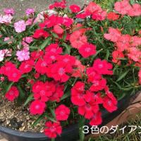色鮮やかなお花たち 芍薬・ダイアンサス(撫子)他…