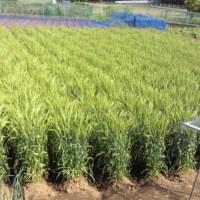 小麦が大きくなりました。!