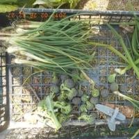 今日の収穫 巻いていないハクサイ ネギ ワケギ ブロッコリー