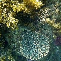 死滅回遊魚 2017年 (とはいっても採集はしない) 白浜権現崎のサンゴ大群生