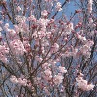 バラ科の桜