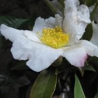 真っ白に 清楚な美しさで咲く ぽっと 一箇所ピンクに染めて・・・