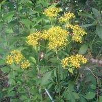 庭にオミナエシが咲き初め、秋もすぐ其処まで?