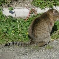 猫との出会い その124 2015年11月30日に今治市で出会った猫ちゃんはケガをしていました。縄張り争いでしょうか?