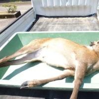 5月17日有害鳥獣捕獲「鹿」
