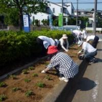 花街道で花植えボランティア行う