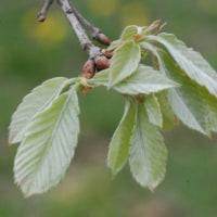 冬芽の観察87コナラ2