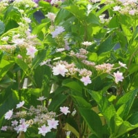 栗の花、 県立三木山森林公園