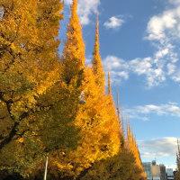 晩秋 11月末、外苑前イチョウ並木