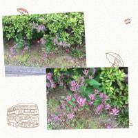 散歩していたらホトトギスを見つけました。こんなところに咲いているなんてとても不思議です。