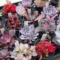 色づいてきたオリジナル仕様の紅葉多肉植物