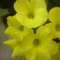 黄色や白の花たちと、めんま。