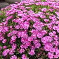 <マツバギク(松葉菊)> 葉が松葉のように細くて花がキクのようだから