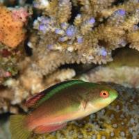 今日の本部の海・・・ミヤケベラ幼魚