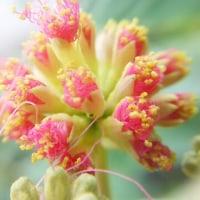 ネムノキ 開花