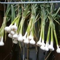 ニンニクの肥料は窒素が必要?
