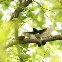 飛び出しの、翼を広げたオオルリ。