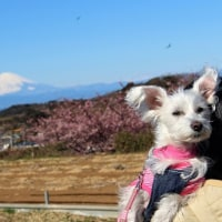 三浦海岸桜まつり(後編)