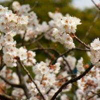上品蓮台寺の春の花 ・・・ 京都
