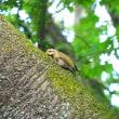 アオゲラの幼鳥